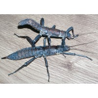 Giant Spiny Stick Insect (Eurycantha calcarata) Adult Female