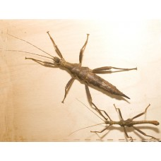 Giant Thorny Stick Insect (Trachyaretaon brueckneri) Nymphs x 3