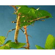 Sunny Stick Insect (Sungaya inexpectata) Nymph