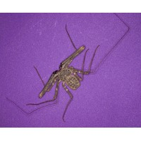 Tail-less Whip Scorpion (Damon diadema) Juvenile