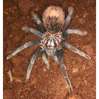 Pamphobeteus nigricolor - Blue Bloom Birdeating Tarantula