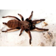 Chilobrachys fimbriatus - Indian Violet Tarantula