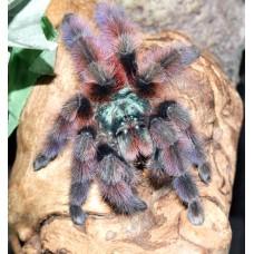 Caribena versicolor - Blue Pink Toe Tarantula (juvenile size) - Collection only