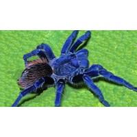 Pterinopelma sazimai - Brazilian Blue Tarantula