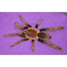 Hysterocrates gigas - Cameroon Baboon Tarantula