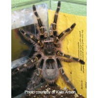 Grammostola pulchripes - Chaco Golden Knee Tarantula