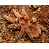 Grammostola rosea - Chile Rose Tarantula (collection only)