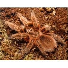 Grammostola rosea - Chile Beauty Tarantula