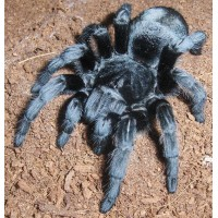 Grammostola pulchra - Brazilian Black Tarantula - Large juvenile/medium size (collection only)