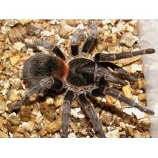 Eurathus species - Chile Flame Tarantula