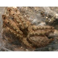 Stromatopelma Calceatum - Feather Leg Baboon Tarantula