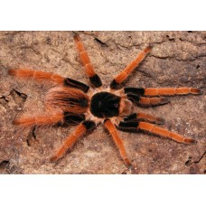 Megaphobema robustum - Giant Columbian Red Leg Tarantula