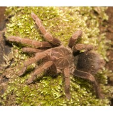 Pamphobeteus fortis - Giant Colombian Birdeating Tarantula