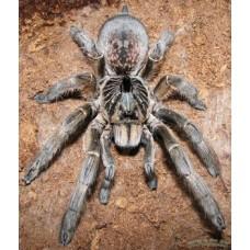 Ceratogyrus Marshalli - Giant Horned Baboon Tarantula