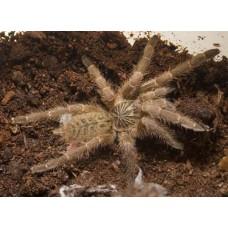 Pterinochilus murinus - Golden Starburst Baboon Tarantula