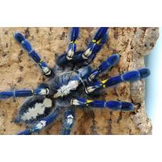 Poecilotheria Metallica - Gooty Sapphire Ornamental Tarantula