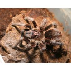 Phormictopus cancerides - Haitian Brown Birdeating Tarantula