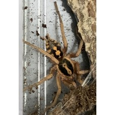 Hapalopus species - Pumpkin Patch Tarantula / Adult Male (Matured May 2020)