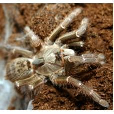 Ceratogyrus darlingi - Horned Baboon Tarantula