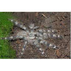 Poecilotheria tigrinawesseli - Wessel Tiger Ornamental Tarantula