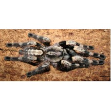 Poecilotheria miranda - Bengal Spotted Ornamental Tarantula