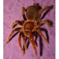 Pelinobius muticus - King Baboon Tarantula