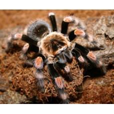 Brachypelma annitha - Mexican Giant Orange Knee Tarantula