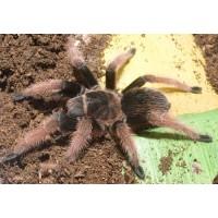 Brachypelma klaasi - Mexican Pink Tarantula