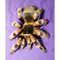 Brachypelma hamorii - Mexican Red Knee Tarantula