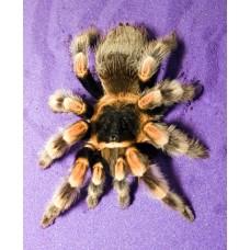 Brachypelma smithi - Mexican Red Knee Tarantula