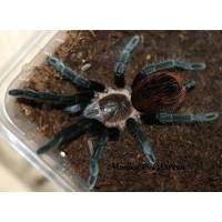 Tliltocatl Kahlenbergi - New Mexican Tarantula