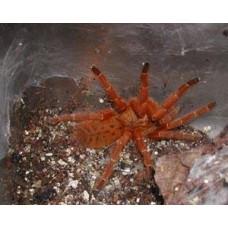 Pterinochilus murinus - Orange Baboon Tarantula
