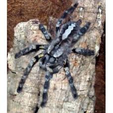 Poecilotheria regalis - Indian Ornamental Tarantula