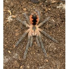 Pamphobeteus sp. Cascada - Ecuador Giant Birdeating Tarantula