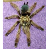 Psalmopoeus pulcher - Panama Blonde Tarantula - Medium