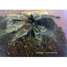 Aphonopelma Belinda - Panama Gold Tarantula