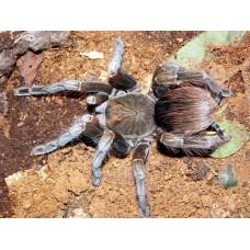 Pamphobeteus machala - Purple Starburst Birdeating Tarantula