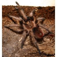 Phormictopus atrichomatus - Red Island Birdeating Tarantula