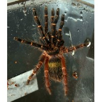Ephebopus Rufescens - Red Skeleton Tarantula