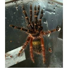 Ephebopus Rufescens - Red Skeleton Tarantula