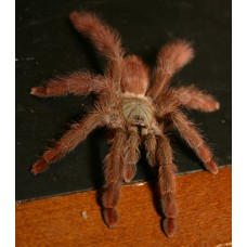 Tapinauchenius Gigas - Red Tree Tarantula