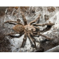 Horned Baboon Tarantula (Ceratogyrus darlingi) Adult Male (Matured December 2017)