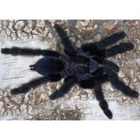 Lampropelma nigerrimum - Sangihe Island Black Tarantula