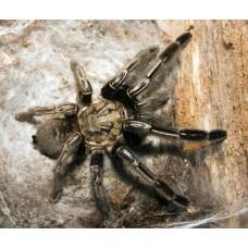 Ephebopus murinus - Skeleton Tarantula