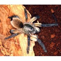 Monocentropus Balfouri - Socotra Island Blue Tarantula