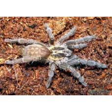 Heterothele villosella - Tanzanian Chestnut Tarantula