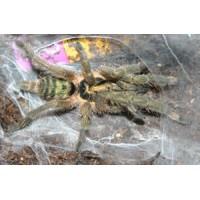 Neoholothele incei - Trinidad Olive Tarantula