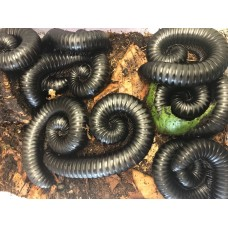 Giant Black Congo Millipede (Unknown species) Juvenile