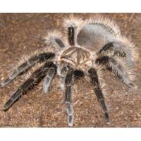 Brachypelma albopilosum - Curly Hair Tarantula