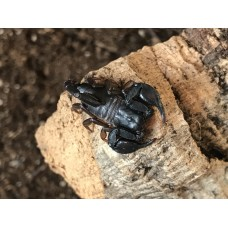 European Yellow Tailed Scorpion (Euscorpius flavicaudis) Adult/Sub-adult